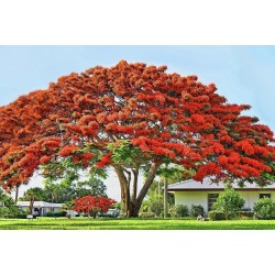 Royal Poinciana, Flamboyant Seeds (Delonix regia) 2.25 - 8