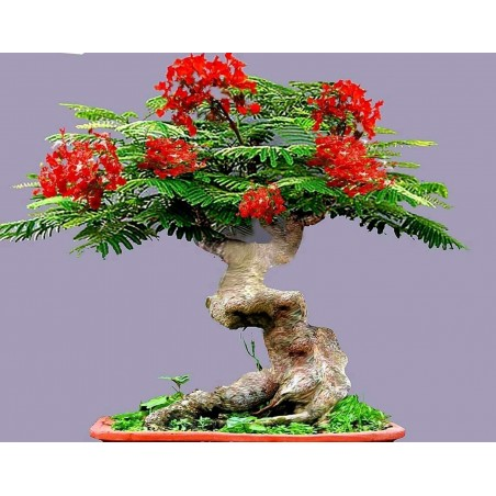 Flammenbaum Samen (Delonix regia) 2.25 - 3