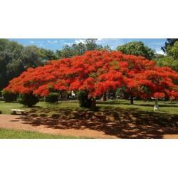 Sementes de Flor-Do-Paraíso, Pau-Rosa (Delonix regia) 2.25 - 9