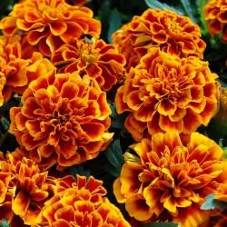 Бархатцы мелкоцветные Семена 1.45 - 2
