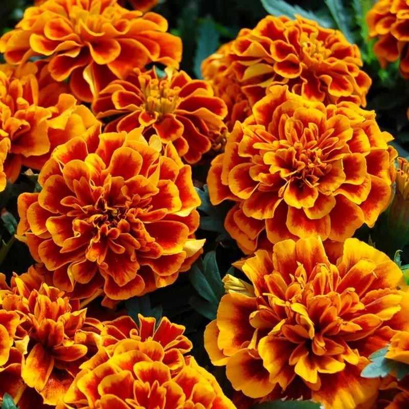 Seme cveca Kadifa Niska 1.45 - 2