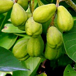 König der Heilkräuter - Haritaki - Myrobalane Samen 4.95 - 2