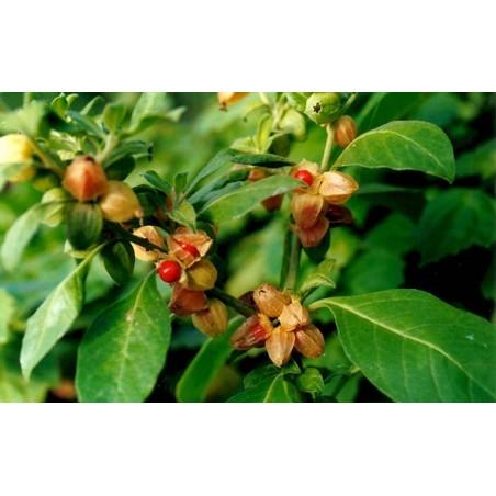 Ashwagandha - Indian Ginseng Seeds (Withania Somnifera) 1.95 - 4