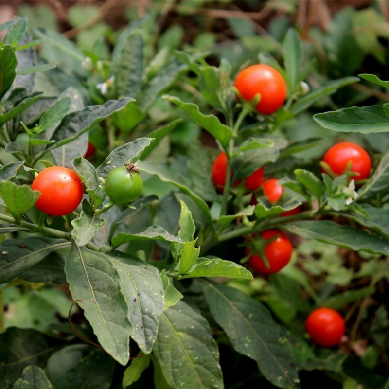 Ashwagandha - Indian Ginseng Seeds (Withania Somnifera) 1.95 - 8