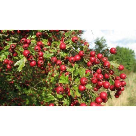 Ashwagandha - Indian Ginseng Seeds (Withania Somnifera) 1.95 - 5
