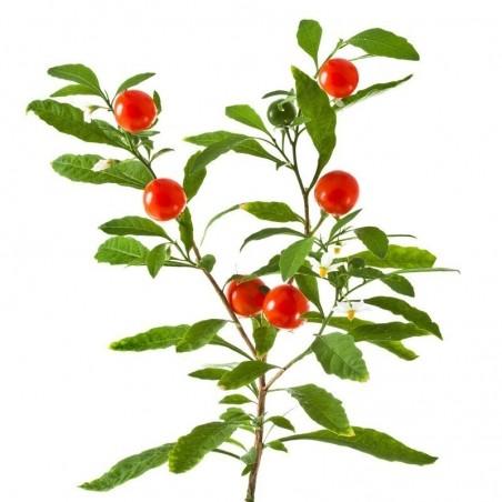 Ashwagandha - Indian Ginseng Seeds (Withania Somnifera) 1.95 - 7