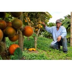 Σπόροι Φρούτα Naranjilla Lulo (Solanum quitoense) 2.45 - 3