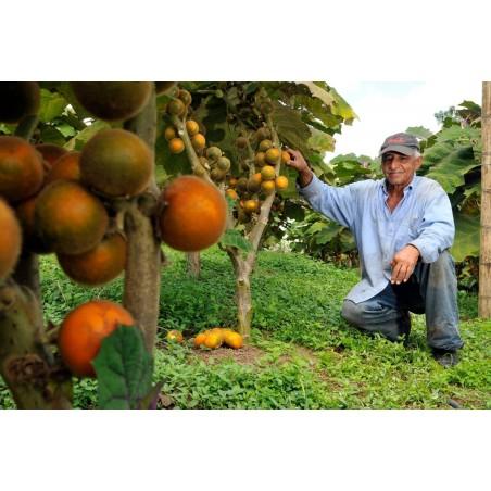 Семена Паслён ки́тоский, Наранхилья (Solanum quitoense) 2.45 - 3