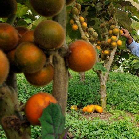 Naranjilla - Lulo Seeds (Solanum quitoense) 2.45 - 2