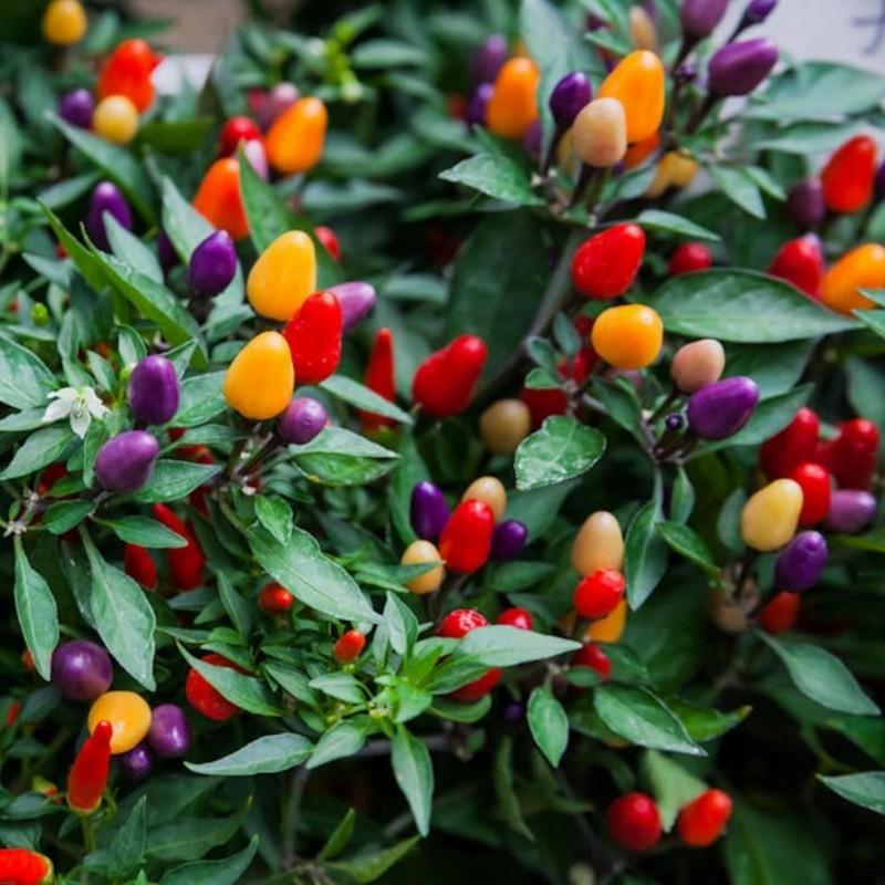 'Aurora' Chili Seme Hot i Prelep 1.45 - 1