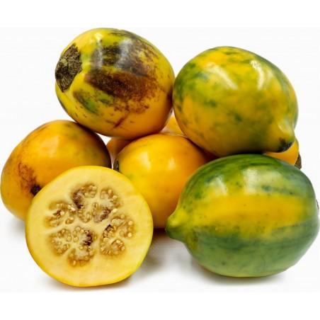 Tarambulo - Håriga Aubergine frön (Solanum ferox) 2 - 1