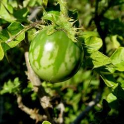 Sodomsapfel Samen (Solanum linnaeanum) 1.45 - 4