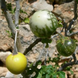 Sementes de Tomateiro-do-diabo (Solanum linnaeanum) 1.45 - 1