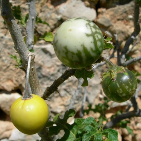 Devils Apple Fruit of Sodom Seeds (Solanum linnaeanum) 1.45 - 1
