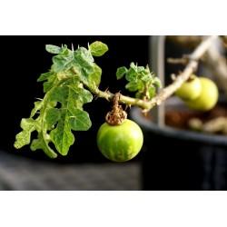 Devils Apple Fruit of Sodom Seeds (Solanum linnaeanum) 1.45 - 5