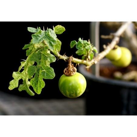 Sodomsapfel Samen (Solanum linnaeanum) 1.45 - 5