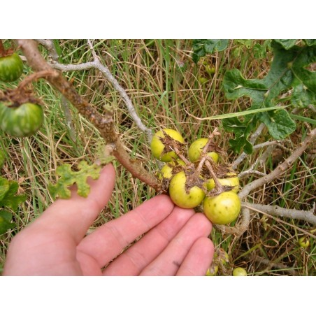 Devils Apple Fruit of Sodom Seeds (Solanum linnaeanum) 1.45 - 6