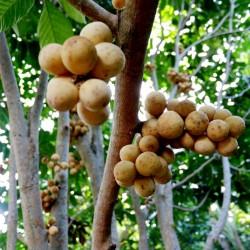 Longkong - Lansibaum Samen (Lansium domesticum) 4.95 - 2