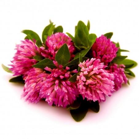 Edible Red Clover Seeds (Trifolium pretense) 2.25 - 1
