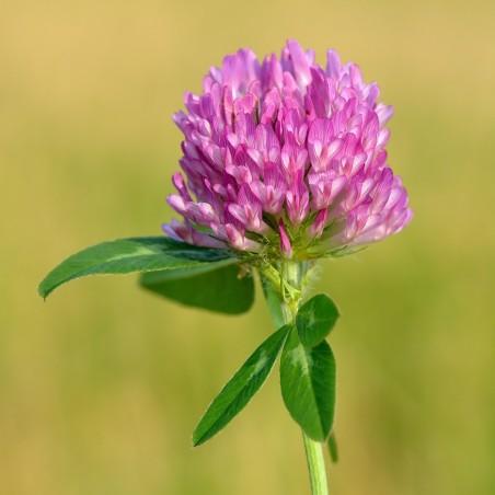 Rödklöver Frön Ätlig (Trifolium pratense) 2.25 - 3