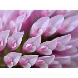 Σπόροι Τριφύλλι κόκκινο, Τριφύλλιο το λειμόνιον Εδώδιμος 2.25 - 4