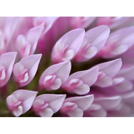 Edible Red Clover Seeds (Trifolium pretense) 2.25 - 4
