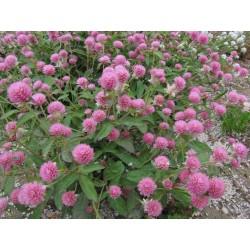 Jestiva Crvena Detelina Seme (Trifolium pratense) 2.25 - 5