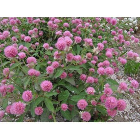 Edible Red Clover Seeds (Trifolium pretense) 2.25 - 5