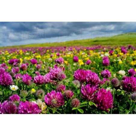 Rödklöver Frön Ätlig (Trifolium pratense) 2.25 - 6