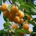 "Semillas de Naranja Roja o Sanguina ""MORO"""