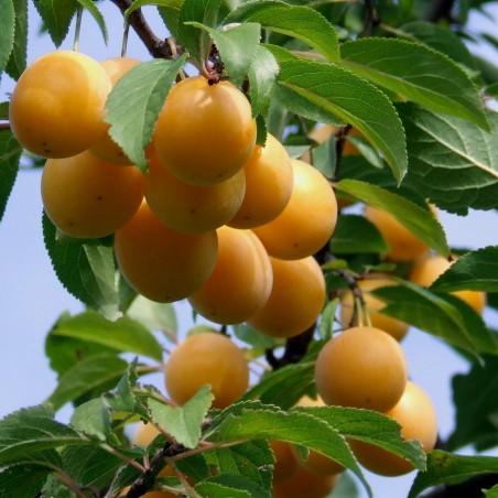 Seeds Changunga, Muruçi, Nanche, Nance (Byrsonima crassifolia) 4.75 - 2