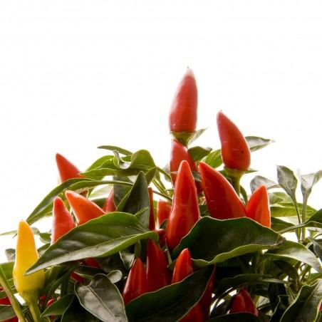 Etna Italijanski Chili Seme 1.9 - 1
