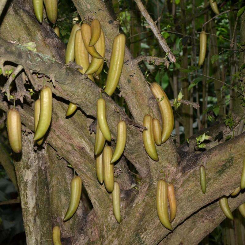 Ponoćni Horor ili Indijska Truba Seme (Oroxylum indicum) 2.85 - 5