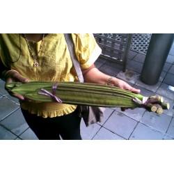 Indian Trumpet Flower - Broken Bones Seeds 2.85 - 3