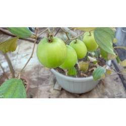 Graines de Jujube (Ziziphus mauritiana) 3.5 - 4