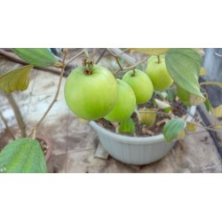 Indische Jujube Samen (Ziziphus mauritiana) 3.5 - 4