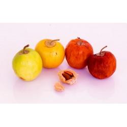 Σπόροι Ινδική Τζιτζιφιές (Ziziphus mauritiana) 3.5 - 5