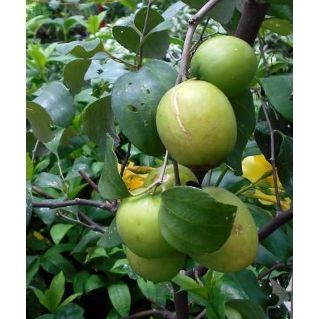 Indian Jujube Seeds (Ziziphus mauritiana) 3.5 - 7