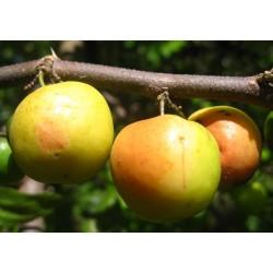 Indische Jujube Samen (Ziziphus mauritiana) 3.5 - 8