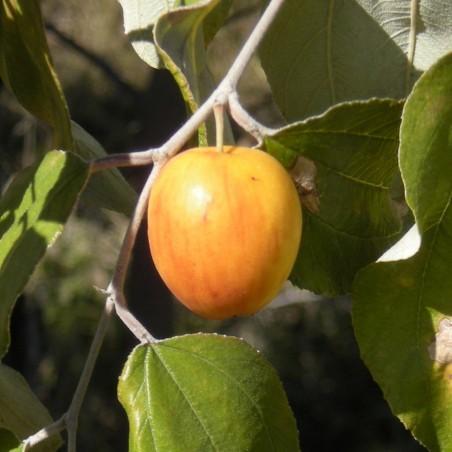 Graines de Jujube (Ziziphus mauritiana) 3.5 - 2
