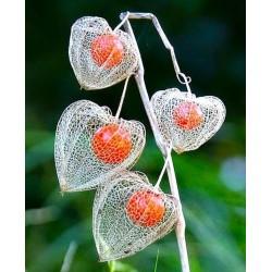 Lampionblume Samen (Physalis alkekengi) 1.55 - 1