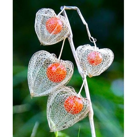 Prickly Heath Seeds (Gaultheria mucronata)
