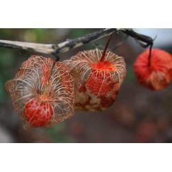 Lampionblume Samen (Physalis alkekengi) 1.55 - 4