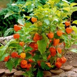 Seme Cveca Lampion (Physalis alkekengi) 1.55 - 6