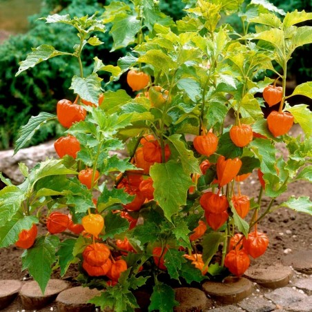 Bladder cherry Seeds, Chinese lantern 1.55 - 6
