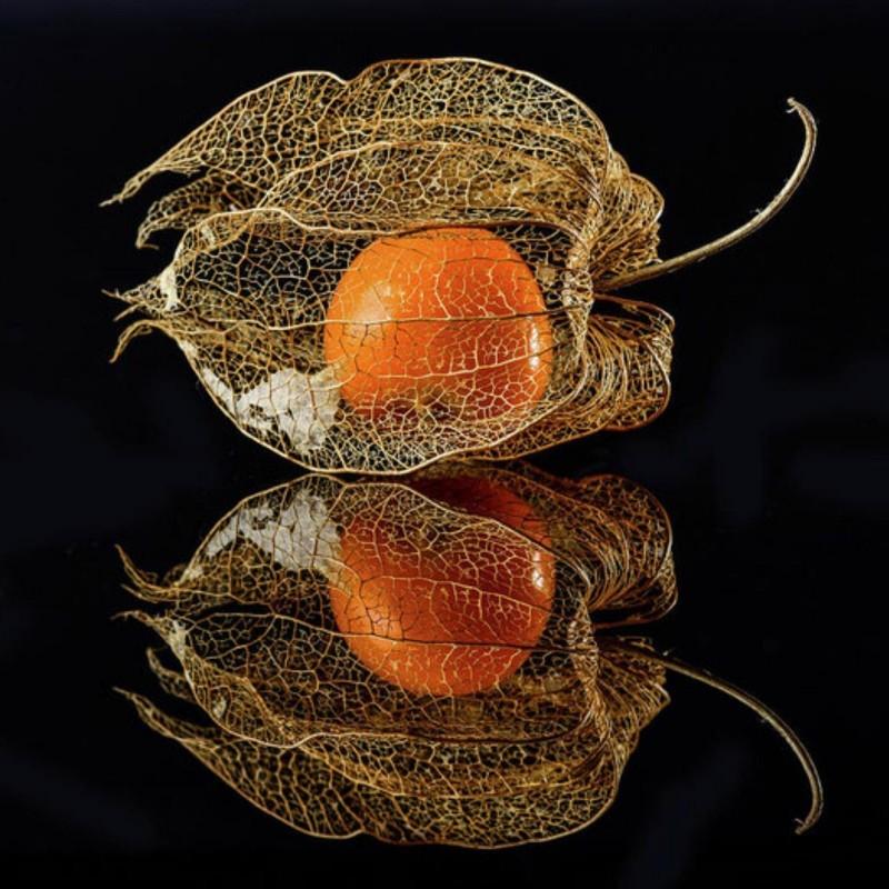 Lampionblume Samen (Physalis alkekengi) 1.55 - 7