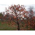Pomelo Samen (Citrus grandis) Frosthart