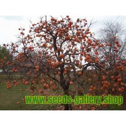 Japanese Persimmon Seeds (Diospyros kaki)