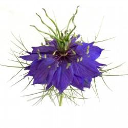 Semi di Nigella (Nigella damascena) 1.95 - 1