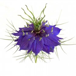 Love-In-A-Mist, Ragged Lady Flower Seeds 1.95 - 1